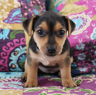 russell terrier, jack russell terrier, black and tan jacks, hunt terrier, irish jacks, irish jack russell, dog breeder, puppies for sale, NY, New York