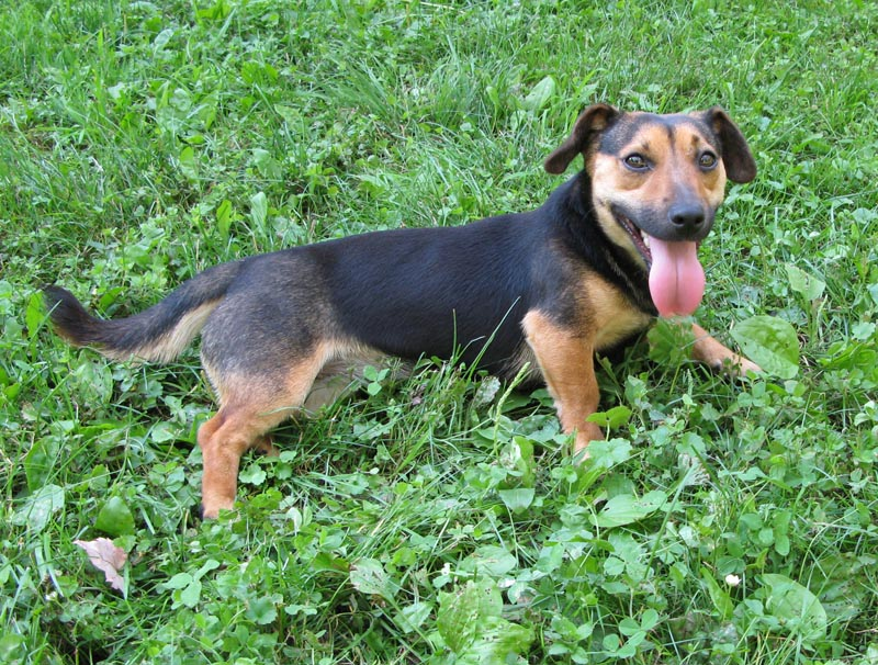 russell terrier, jack russell terrier, black and tan jacks, hunt terrier, irish jack russells, dog breeder, puppies for sale, NY, New York