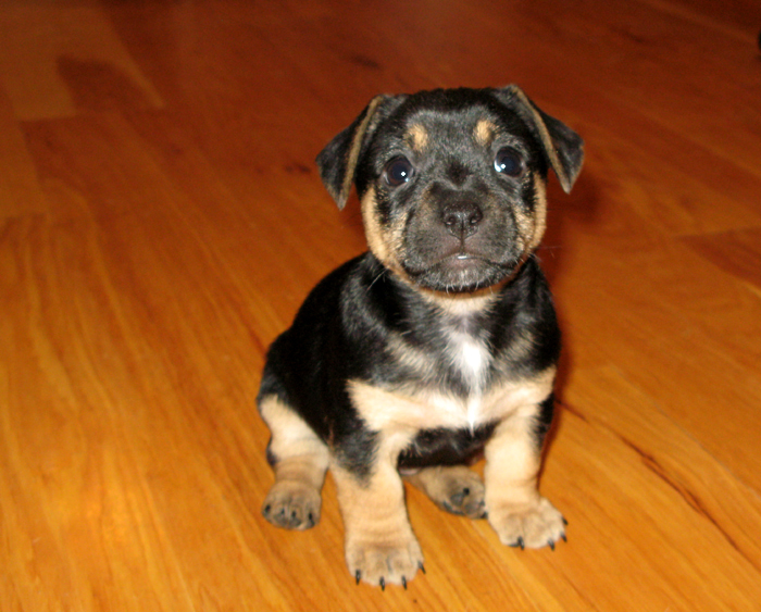 russell terrier, jack russell terrier, black and tan jacks, hunt terrier, irish jack russell, dog breeder, puppies for sale, NY, New York